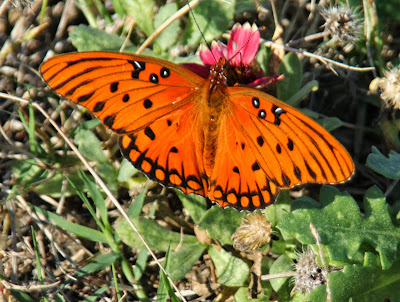beth's blog fabulous day at ft fisher  butterflies and