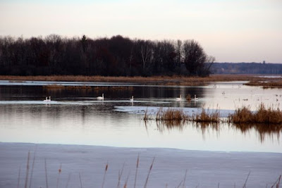 December, tundra swans