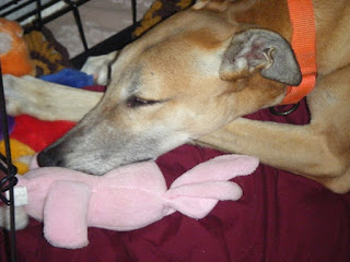 Retired racing greyhound snuggles to pink bunny