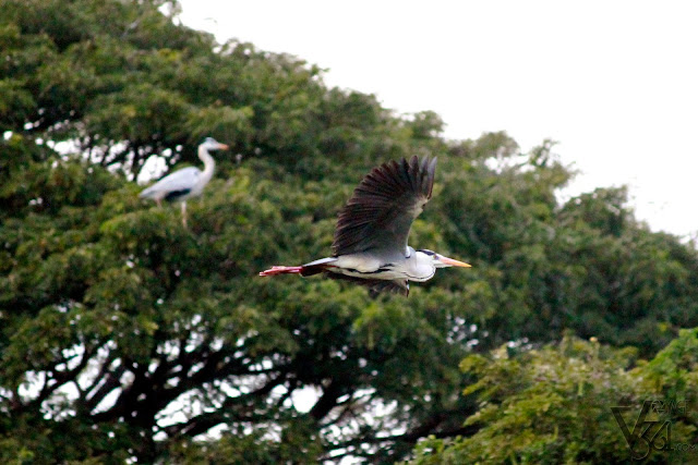 Grey Heron in flight and another one resting over the tree (left)
