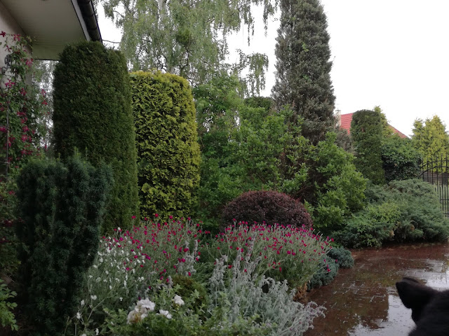 duże krzewy iglaste w ogrodzie