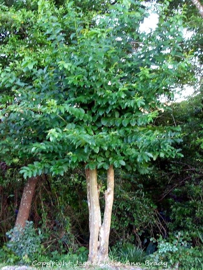 Mockingbird Nest in My Crepe Myrtle Tree