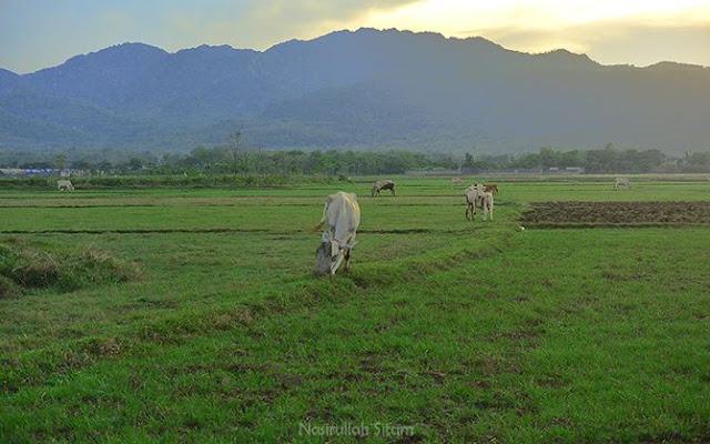 Belasan sapi di hamparan rumput hijau