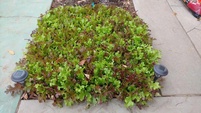 Mixed Lettuce - accidental dryfarm