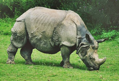Javan Rhinoceros - Animal That Start With Letter J