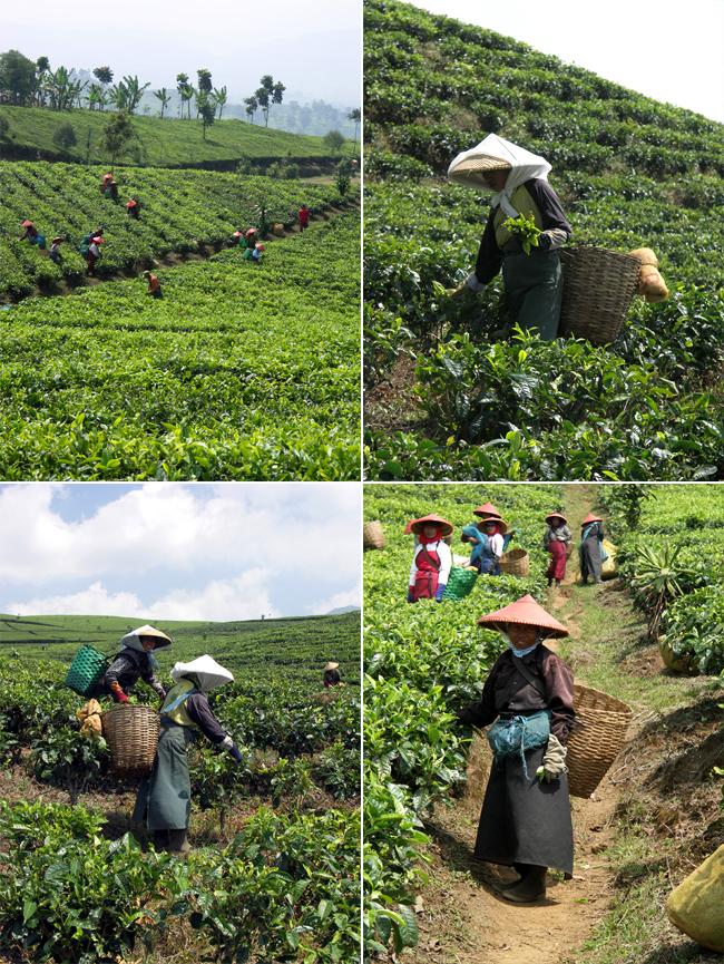 Indonezja - plantacje herbaty relacja z podróży