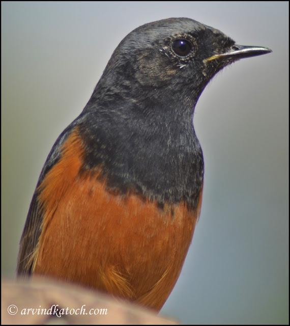 Redstart, Black,