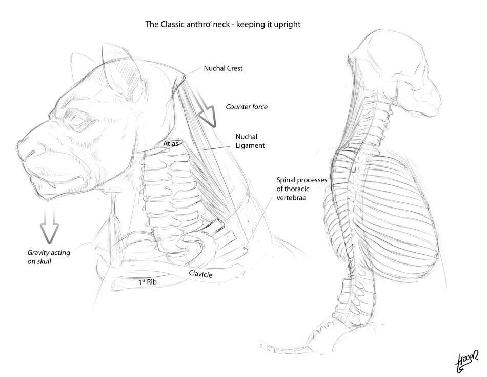 Anthro Anatomica Skull To Neck