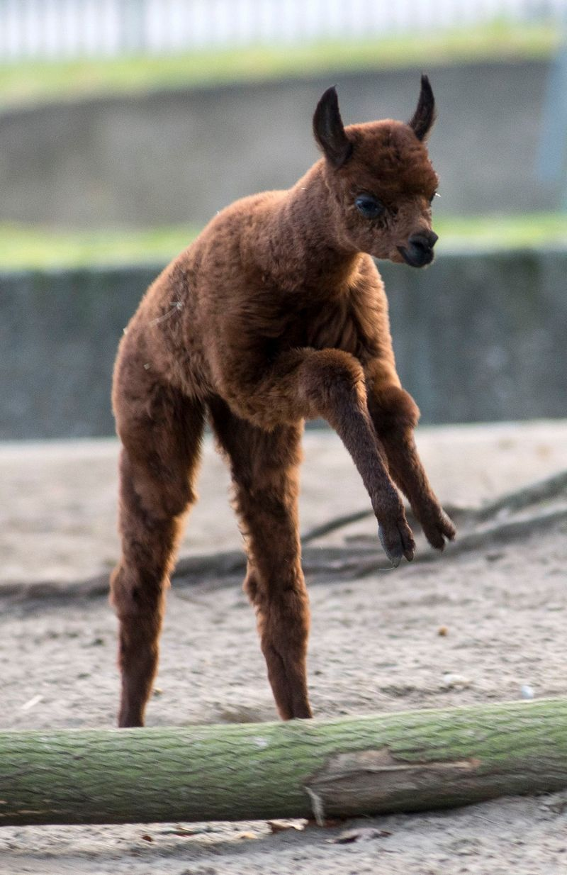 Baby Animals: Cria 6