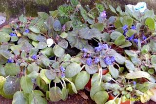banco de violetas africanas