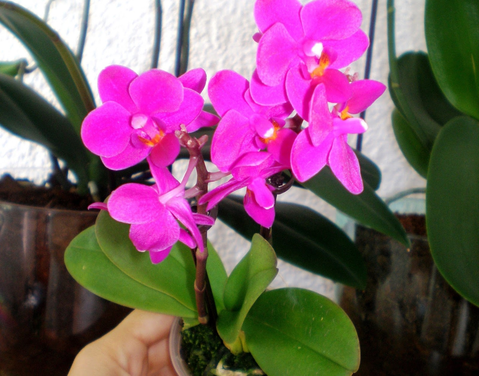 "Mini Phalaenopsis sau ""Little Lady"""