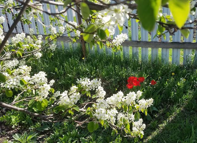 мгновения весны...ирга цветёт