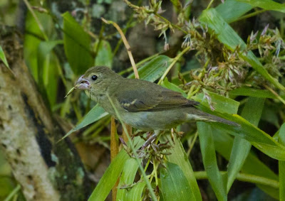 Buffy fronted Seedeater