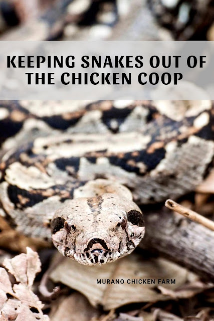 Snake in chicken coop