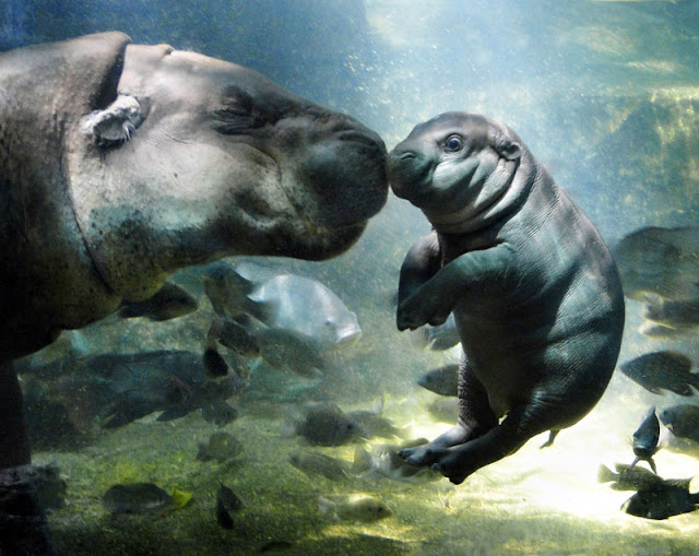 baby mother love water hippo