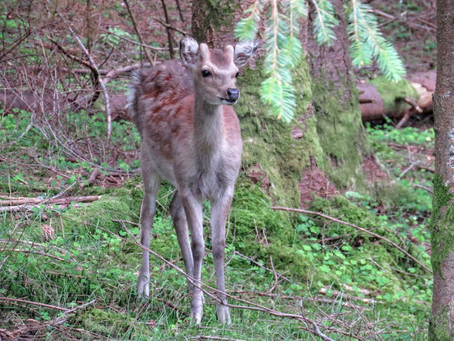 Wicklow Mountains Tour - Curious deer spotted along St. Kevin's Way in Glendalough