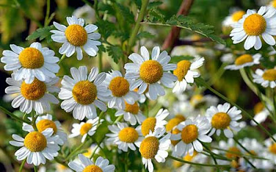 10 Incredible Health Benefits of Feverfew Herb