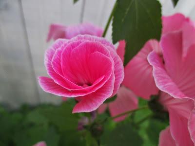 malva, kukka