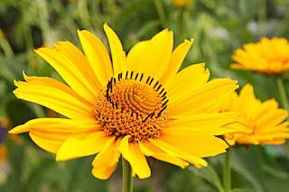 árnica flor