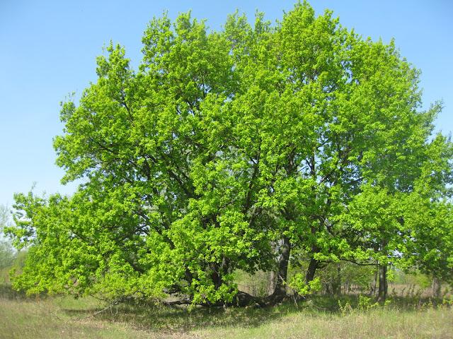 оригинальный дуб