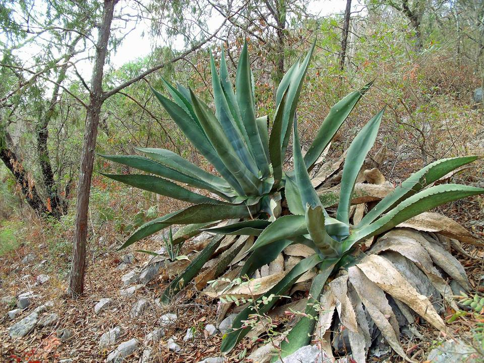Grow And Care Agave Asperrima Succulents Travaldo S Blog