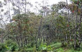 cinchona plantation