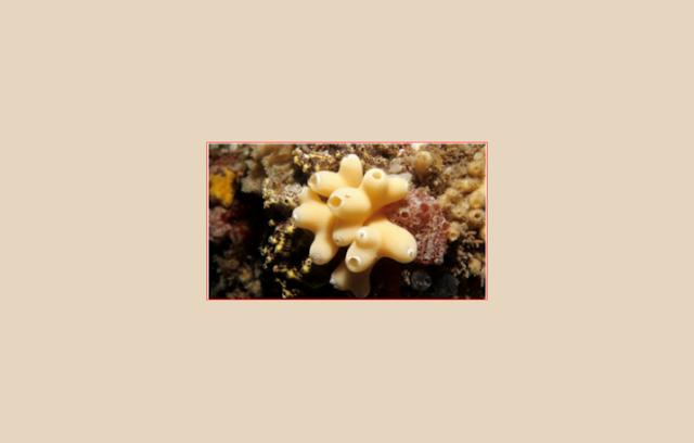 Sycon Gelatinosum