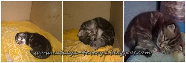 Kucing maine coon mix (campur) kucing persia