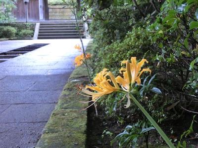 円覚寺のヒガンバナ