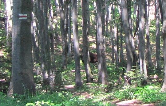 Jeden z żubrów na szlaku przed Wołosaniem.