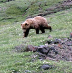 f7f34d6c552 A long-term interagency program to monitor grizzly bear population trends  in the Northern Continental Divide Ecosystem will continue at Glacier  National ...