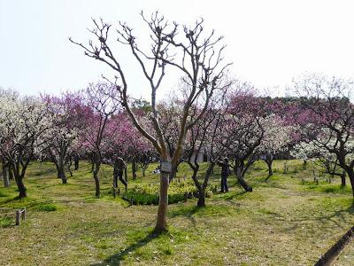 山田池公園 梅林の梅 サルスベリ