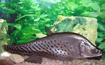 Belida ikan hias air tawar