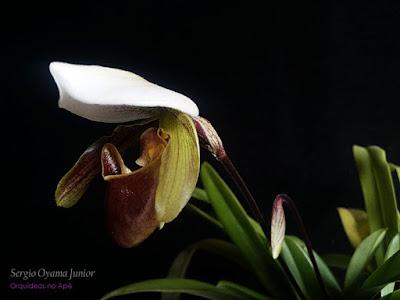 Orquídea Paphiopedilum Leeanum