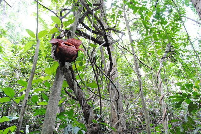 世界にある驚くべき植物、ラフレシア、寄生