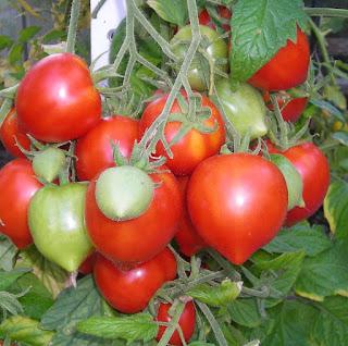 veganer dünger für tomaten