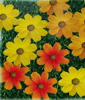Cosmos flower seeds Ahmedabad