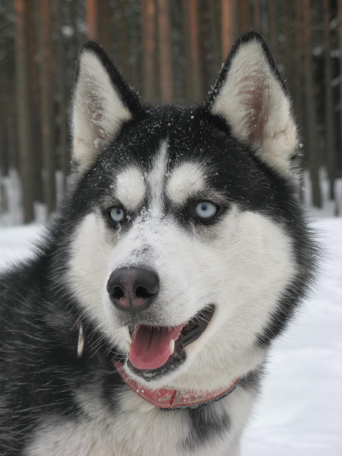 Собаки Хаски: Фото Хаски