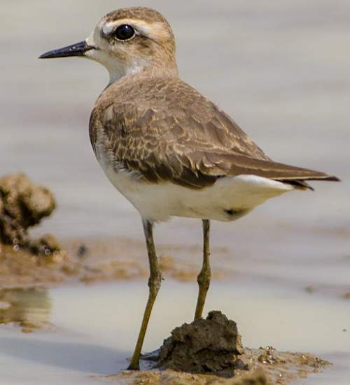 Birds of India - Image of Caspian plover - Charadrius asiaticus