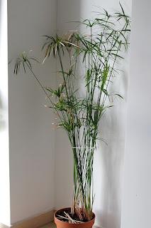 papirus kwiat