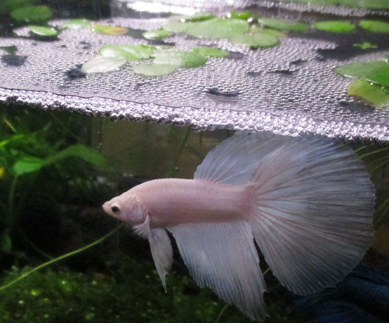 Image The Fundamentals of Bubbles in Betta Tank Revealed