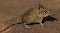 elephant shrew pictures