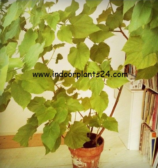 sparmannia africana seeds and its care