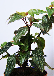 begonia-angel-wings-medora