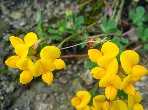 Cuernecillo (Lotus corniculata) flor amarilla