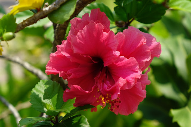 Cozumel is just one of the cruise ports you'll find hibiscus