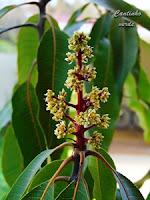 Flor de manga - mangueira