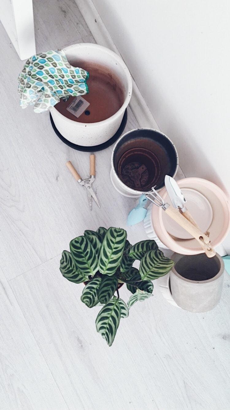 ktenanta augalas