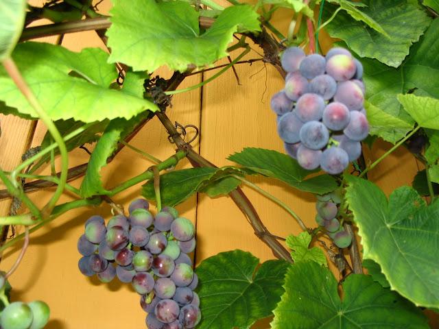 Омолаживающий курс с виноградом