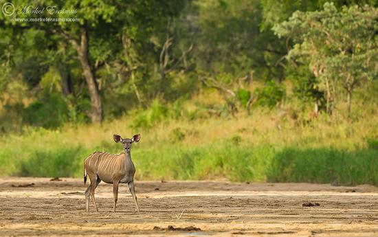 PhotoShare: Kruger Kuduscape